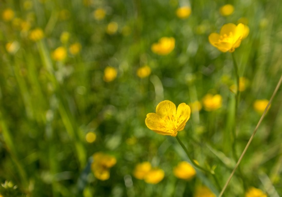 buttercup blossoms on a field
